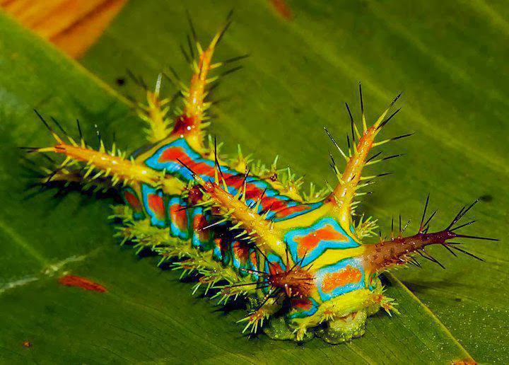 Holy Vesuvian Cow - beautiful insects