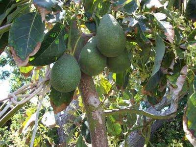 http://3.bp.blogspot.com/-EdCQxAJzHzA/TmkXW-Gph4I/AAAAAAAABXk/1KWQNM1rcZs/s1600/avocados+on+tree.jpg