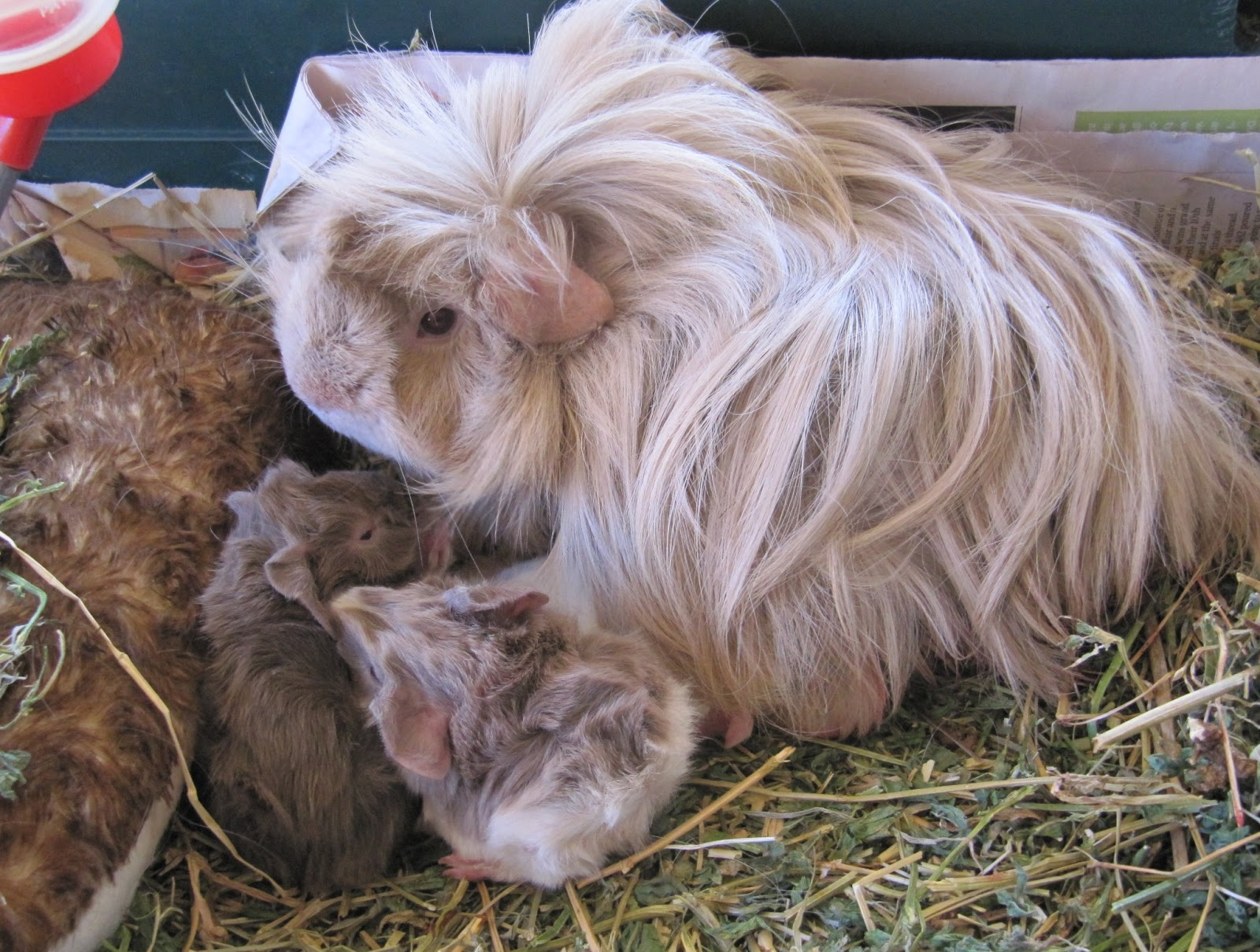All Things Guinea Pig: FAQs