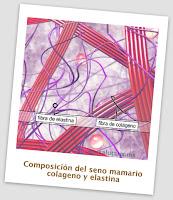 composicion del seno o busto fibras. Salutaris Guadalajara Mexico