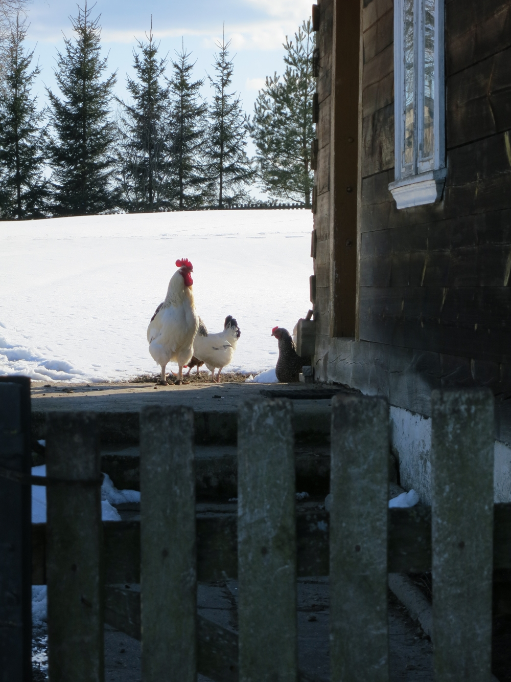 Kogut z kurami przy chacie w Harkawiczach, widok zza płota