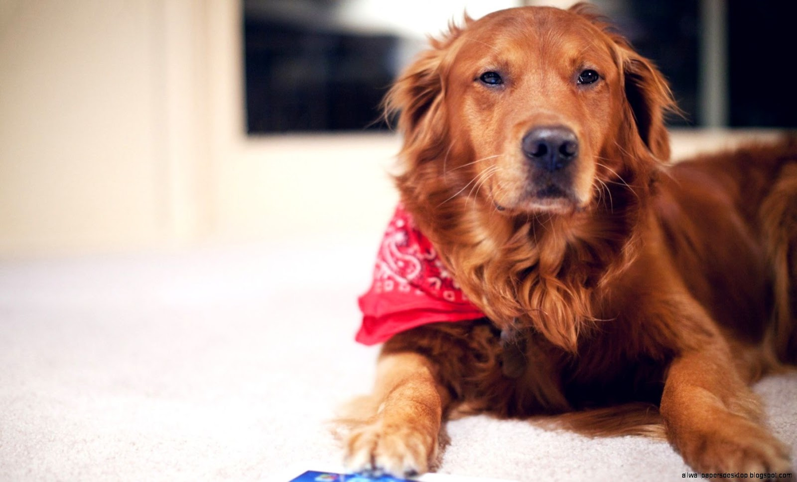 Dog with Red Scarf