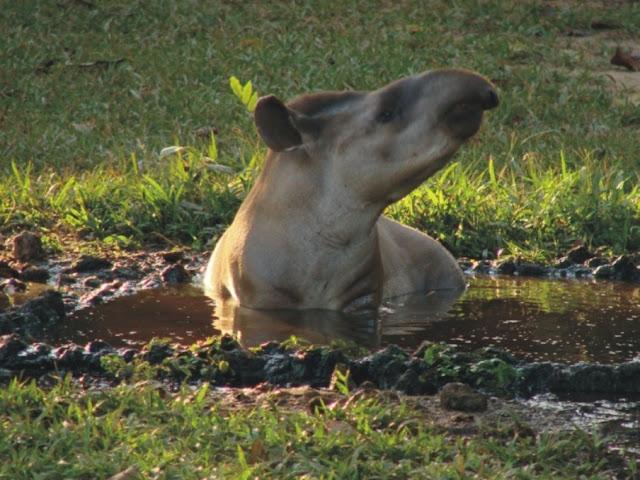 A anta toma banhos de água e lama para se livrar dos insetos
