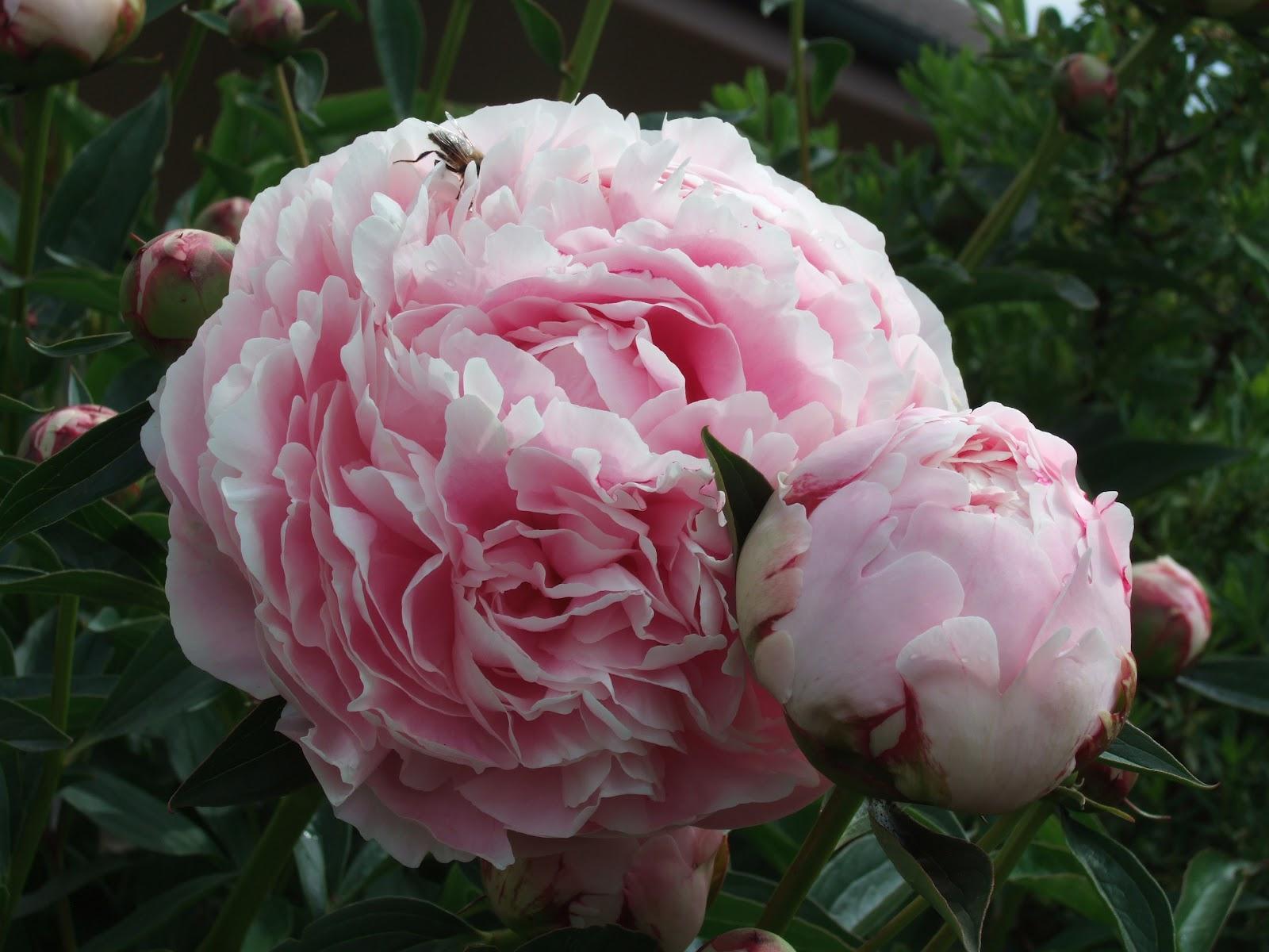 pflanzen resort edel pfingstrose paeonia lactiflora 39 rosa 39. Black Bedroom Furniture Sets. Home Design Ideas