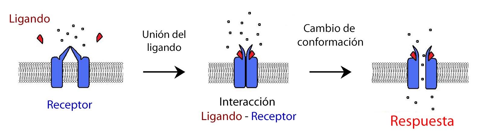 Cambio de conformación de un receptor tras unión de su ligando