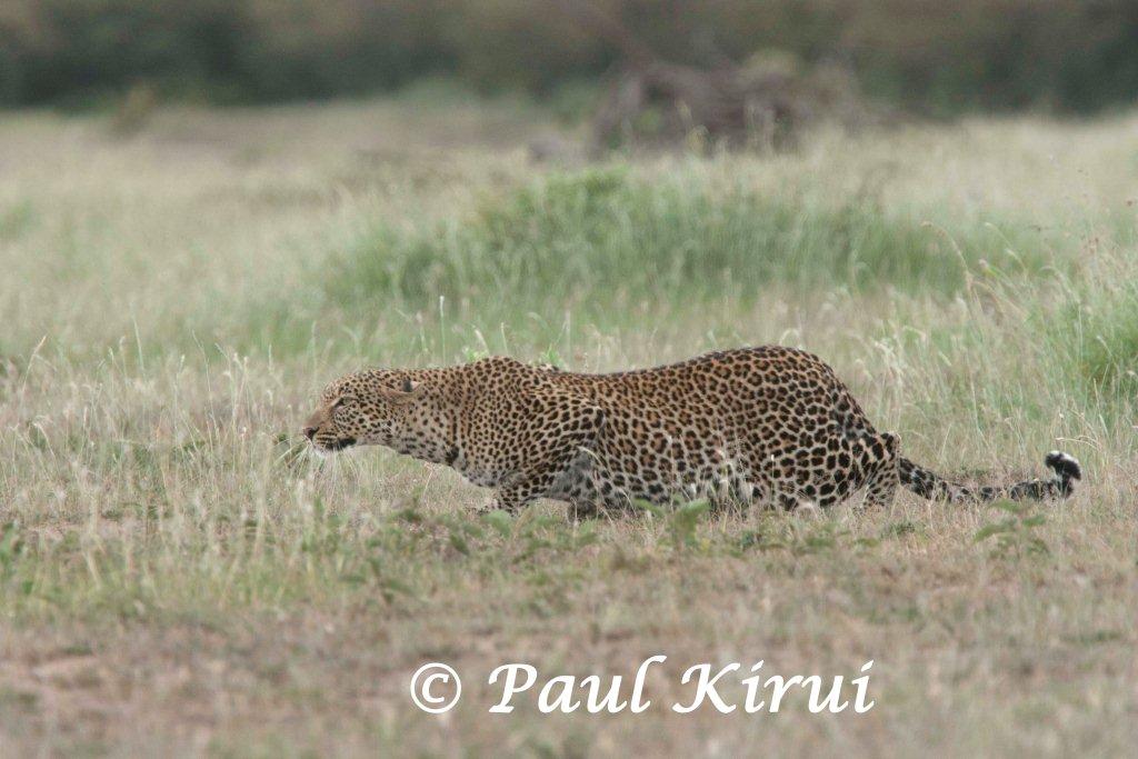 Paul Kirui Safari Blog Mara Big Cat Update