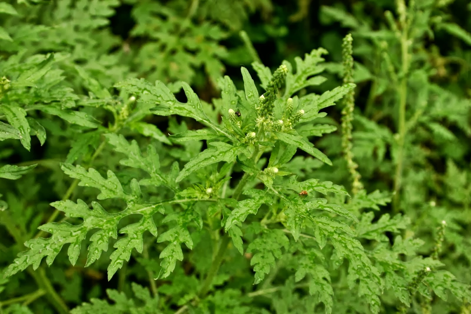 Plantas medicinales uso medicinal de la manzanilla for Manzanilla planta medicinal para que sirve