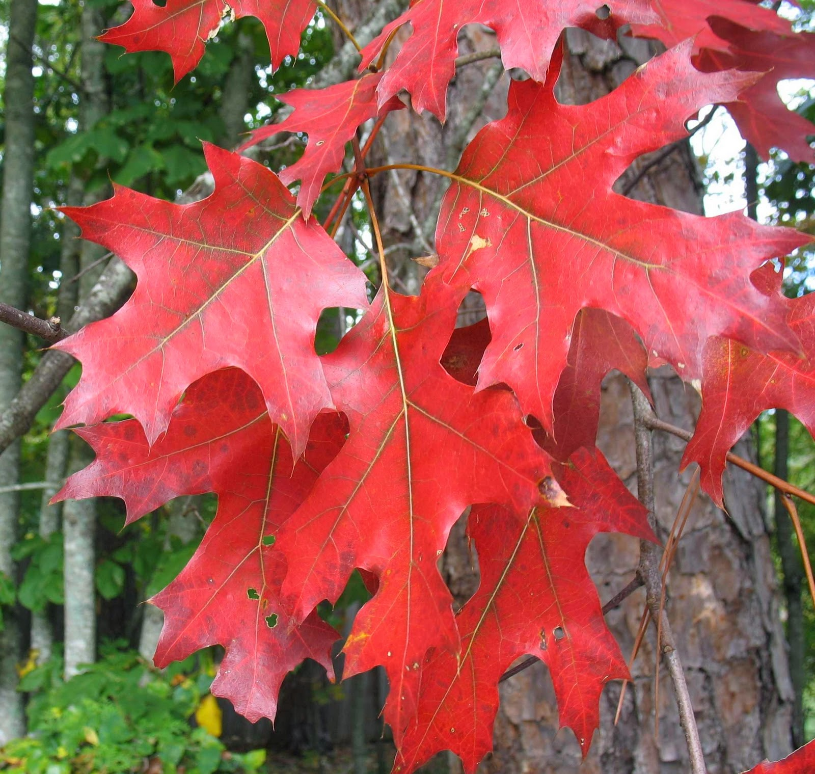 Trees planet quercus rubra red oak
