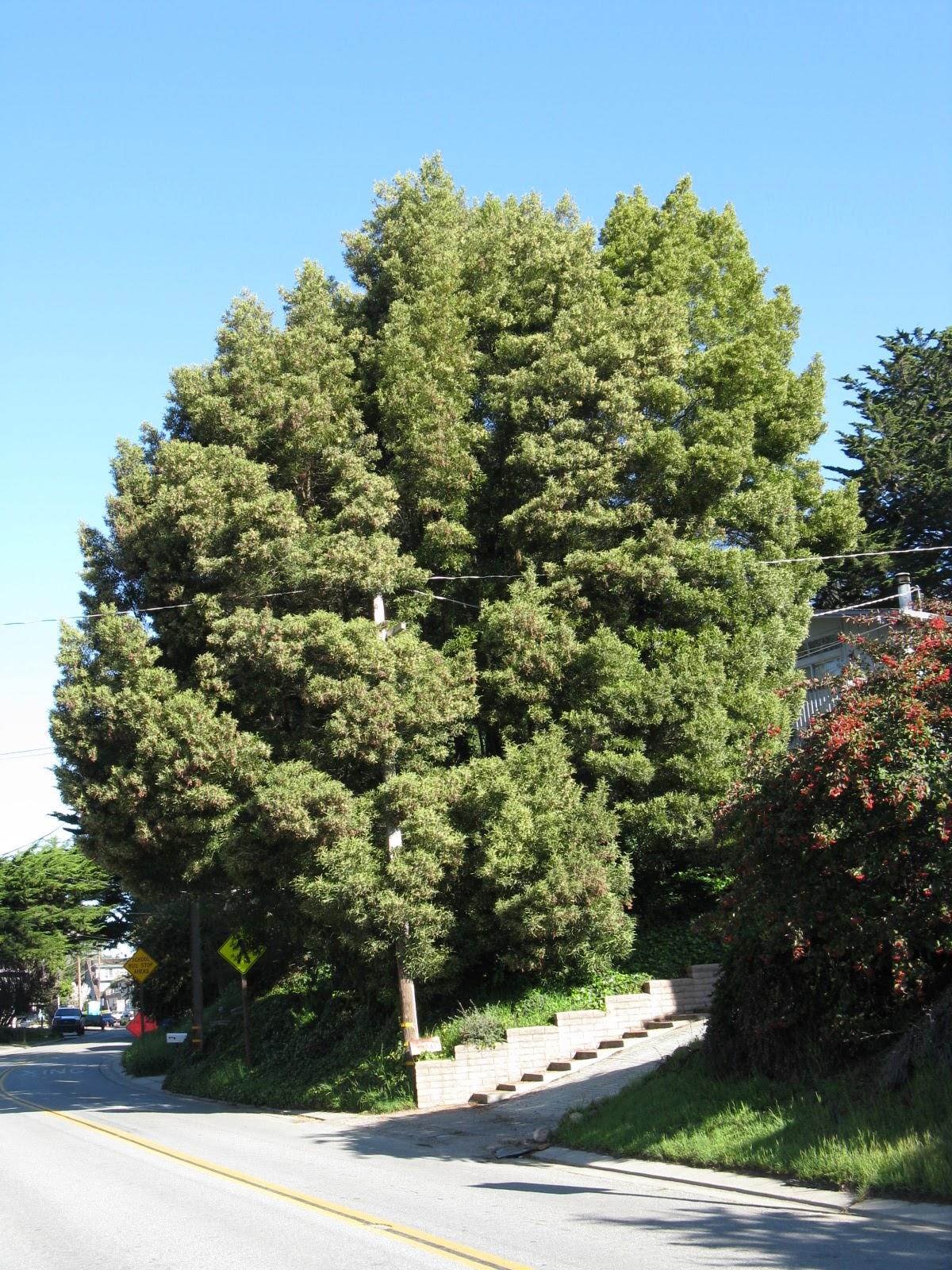 trees of santa cruz county march 2011