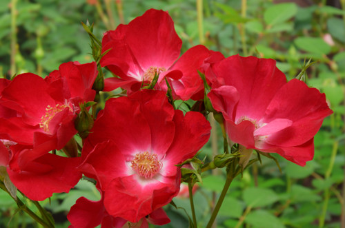 Dortmund rose сорт розы фото