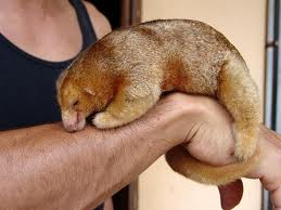 Silky Anteater photo