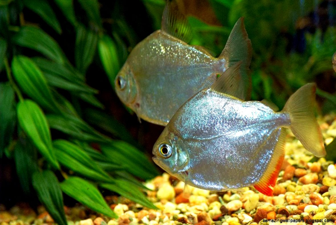 freshwater fish wallpaper amazing wallpapers