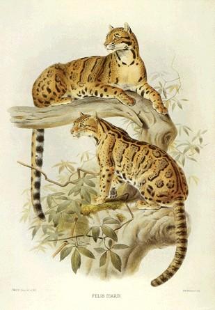 Contoh koleksi lengkap gambar harimau atau macan dengan berbagai