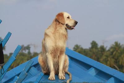 O Cachorro Shagy em Mentawai