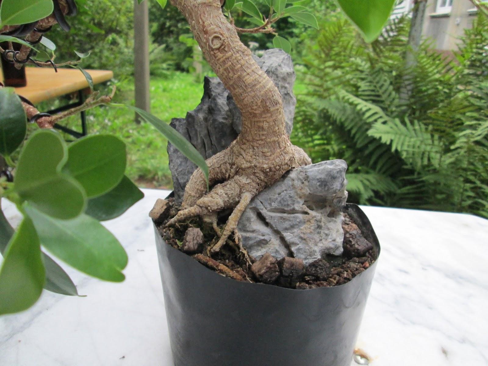 bonsai update ficus microcarpa wurzeln ber fels. Black Bedroom Furniture Sets. Home Design Ideas
