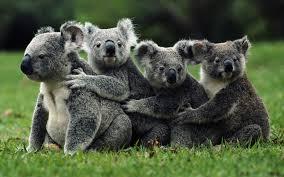 Científicos proponen sacrificar masivamente koalas para salvar la especie