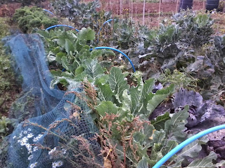 weeds in the veg garden