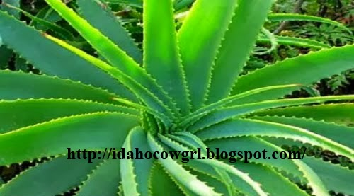 Aloe Vera Benefits For Face And Hair