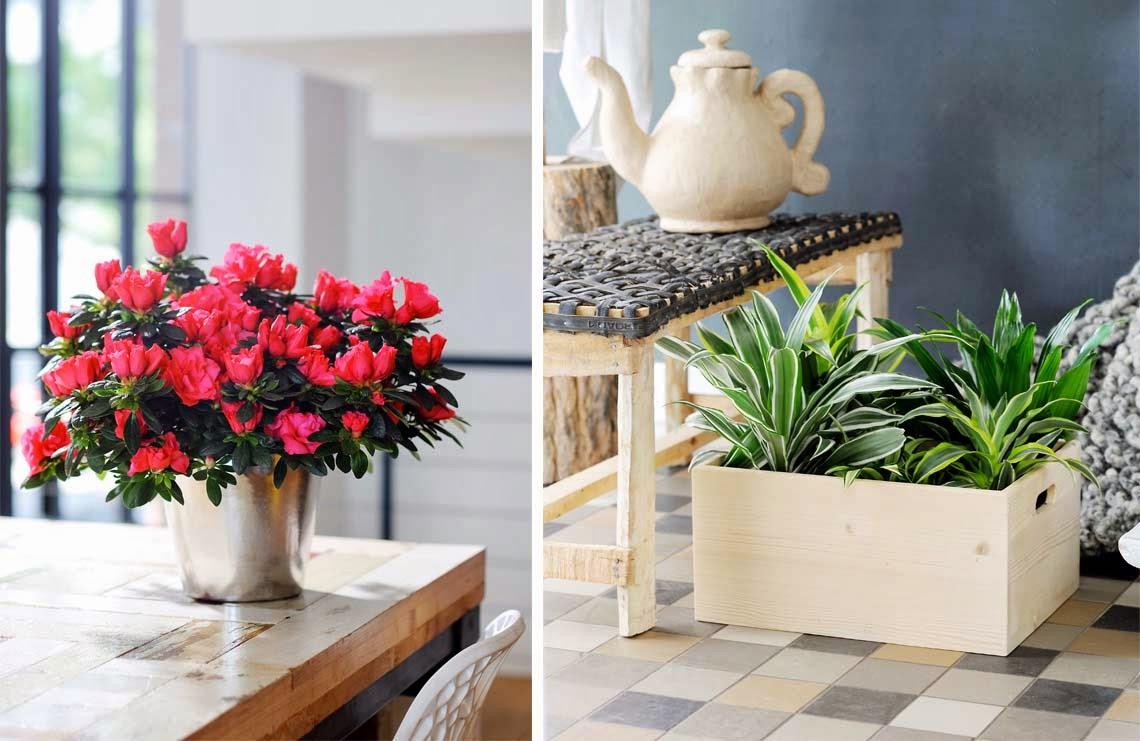 El blog de los pe otes qu plantas de interior pongo - Cuidado de azaleas en interior ...