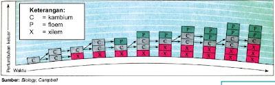Pertumbuhan sekunder xilem dan floem oleh jaringan kambium
