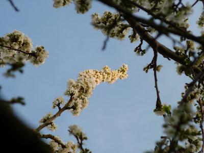 Plum tree blossom branch in evening sun 30 Mar 2012