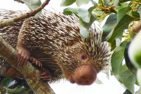 Дикобраз Baturite, Coendou baturitensis