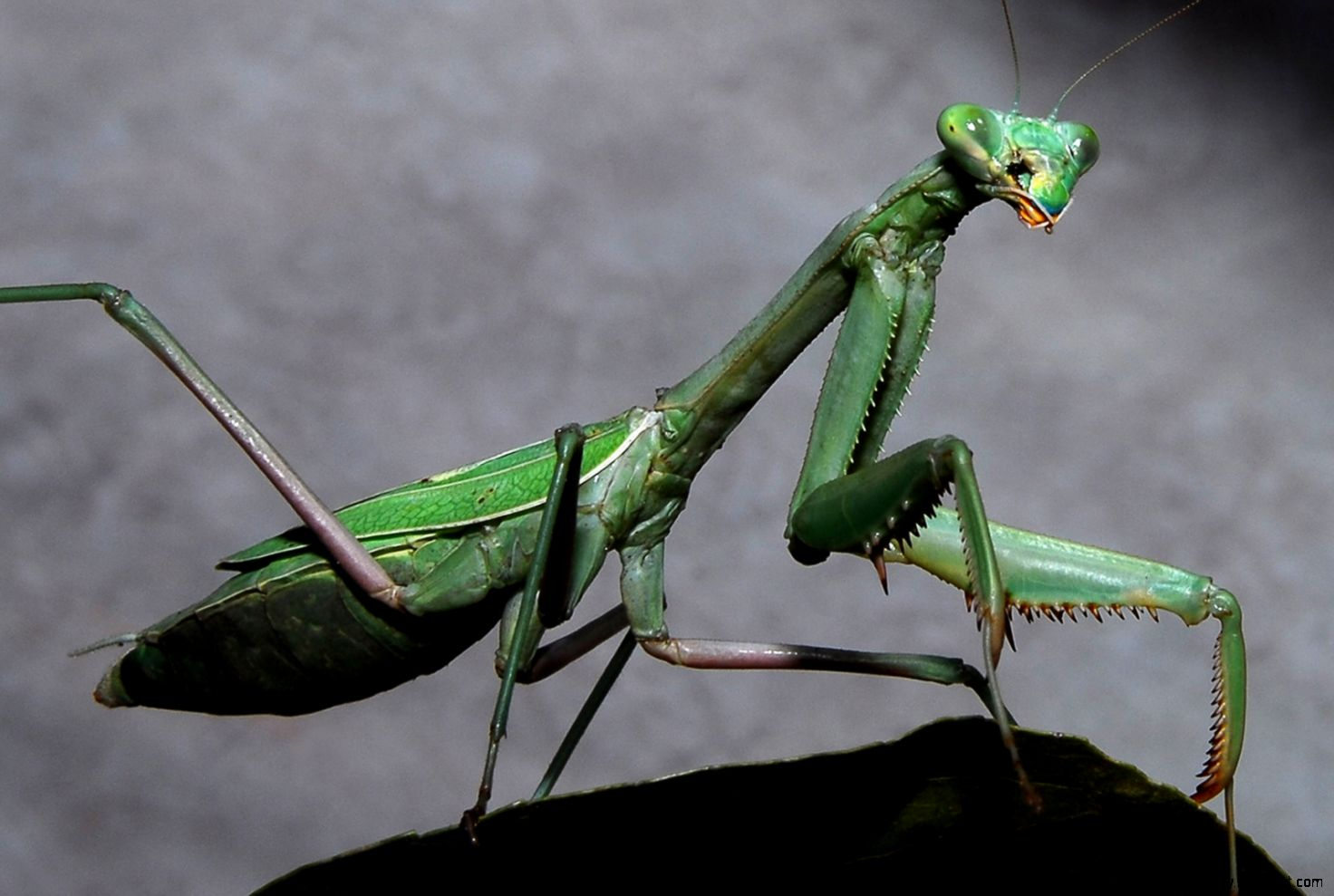 About Praying Mantis