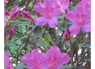 SPRING! 6  azalea2 St. Francis Inn St. Augustine Bed and Breakfast