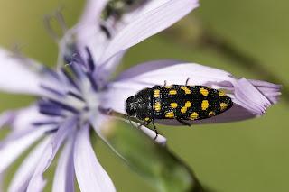 Para ampliar Acmaeodera degener (Escarabajo de catorce puntos) hacer clic