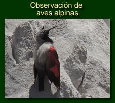http://iberian-nature.blogspot.com.es/p/ruta-tematicaobservacion-de-aves-alpinas.html