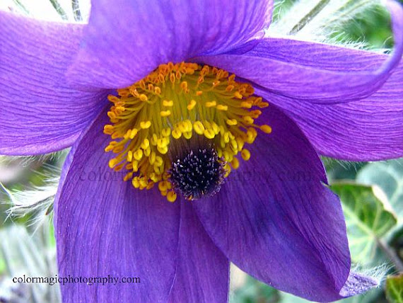 Pasqueflower photo-Pulsatilla also called Easter flower