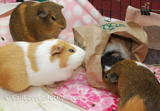 DIY guinea pig toy ideas