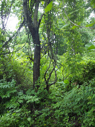 """Tarzan Trees"" in ""Nagla Forests"""