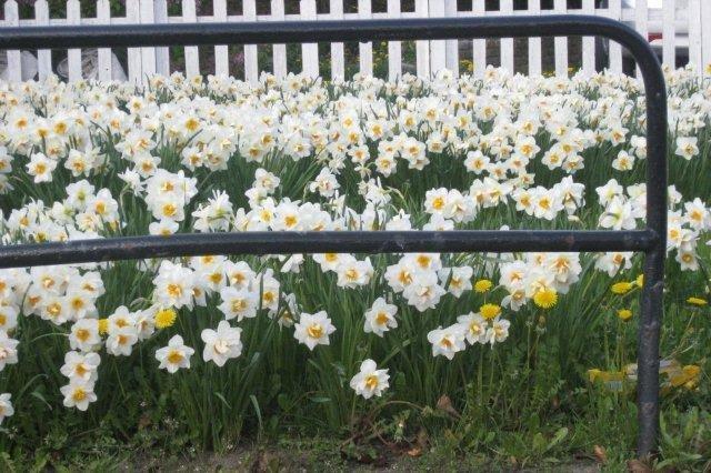 Flores Narcisos en Aberdeen