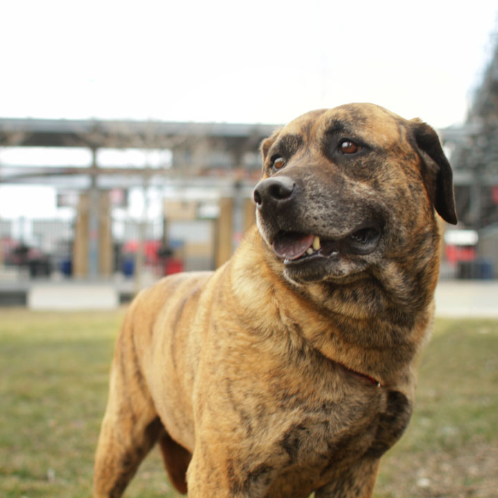 Dog Mastiff Mix