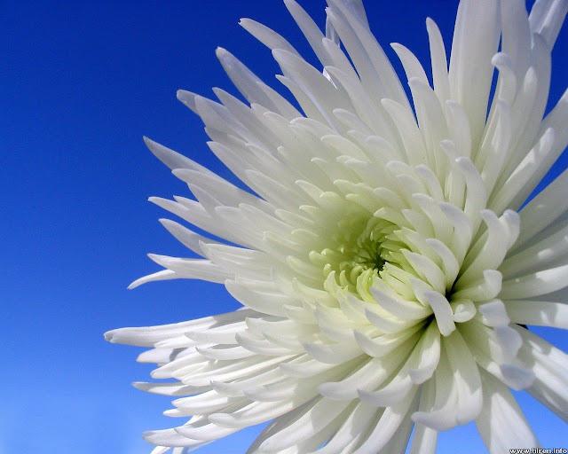 للتأمل جمال الطبيعة 2016 احلي white-dahlia-closeup