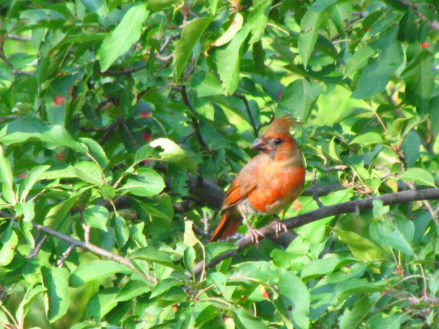 young cardinal in tree