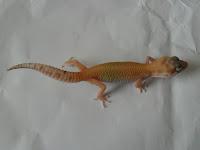 perawatan, cara merawat gecko, memelihara