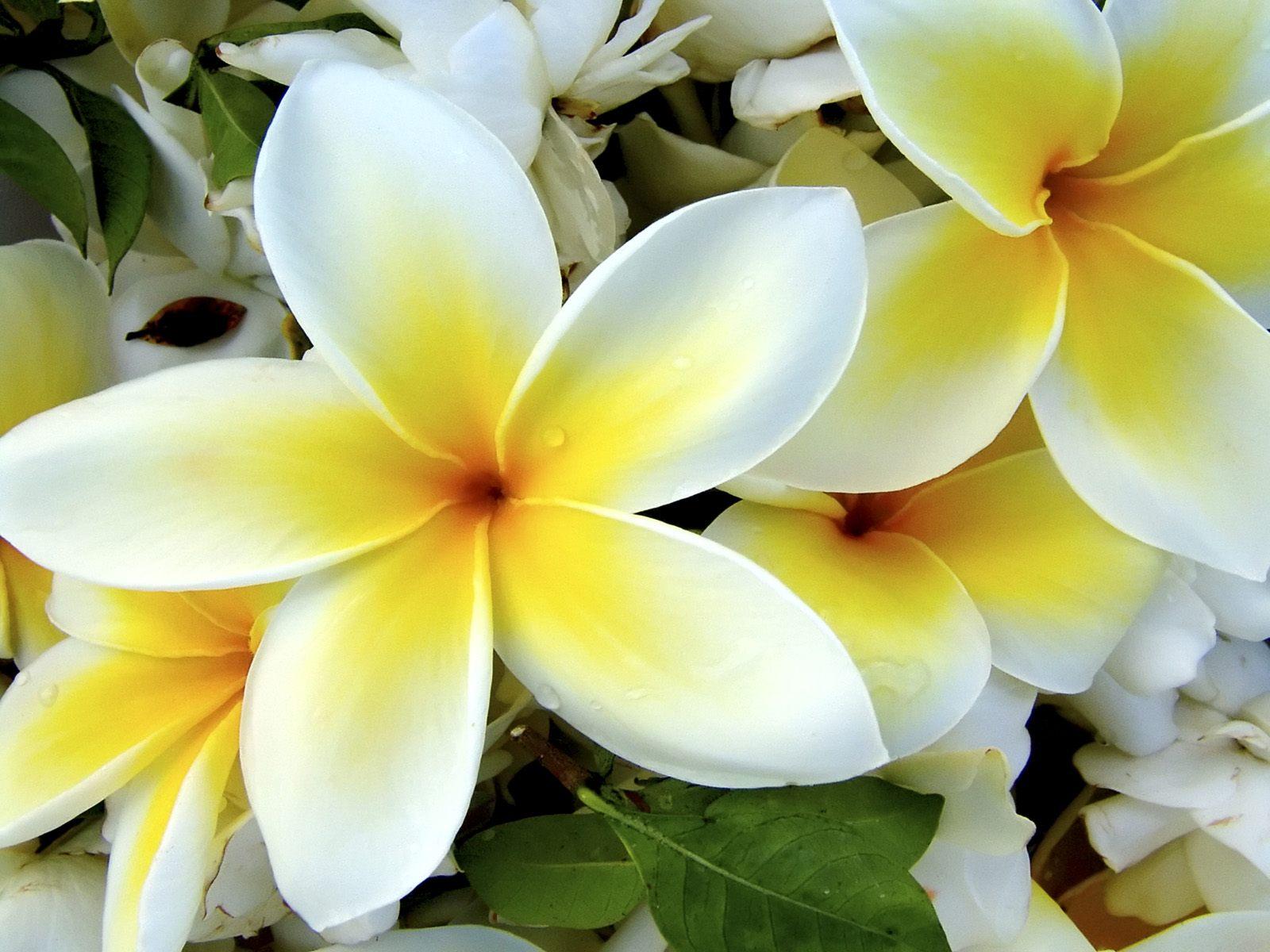 Romantic Flowers: Plumeria Flower