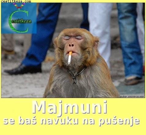 smiješna slika majmuni i pušenje