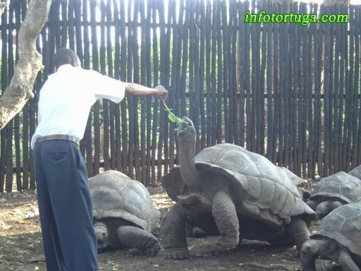 Tortuga gigante de Aldabra - Dipsochelys dussumeri