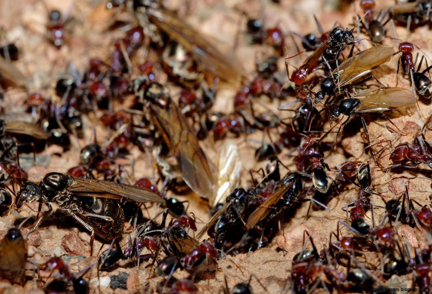 Ant   Wikipedia the free encyclopedia