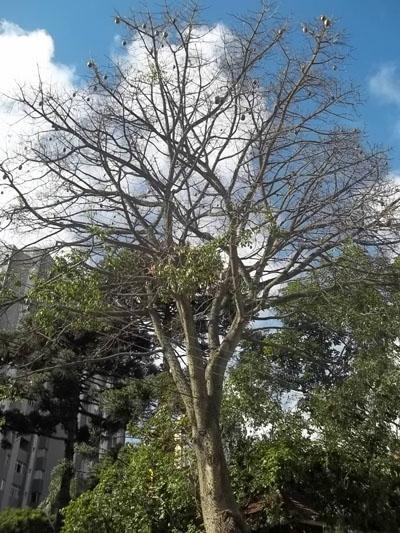 árvores, paineira, raiz, tronco