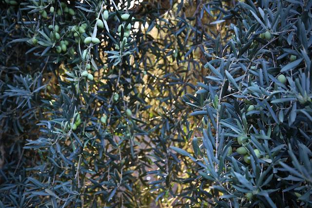 Olives, catania, sicily