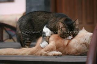 kucing kawin, proses perkawinan kucing, tanda kucing birahi