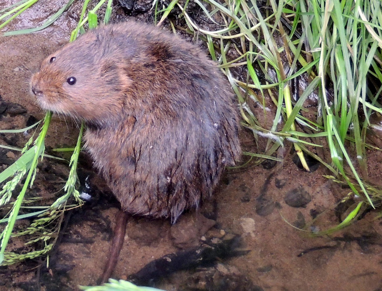 May Eveningvoles on Field Car Show
