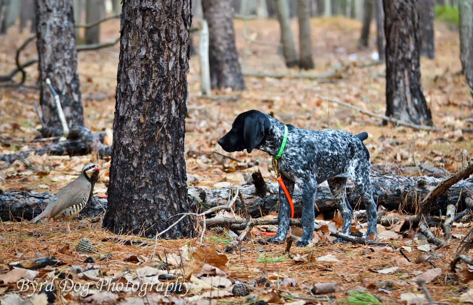 Adventures Of A Gsp Hunting Dog Our Dogs