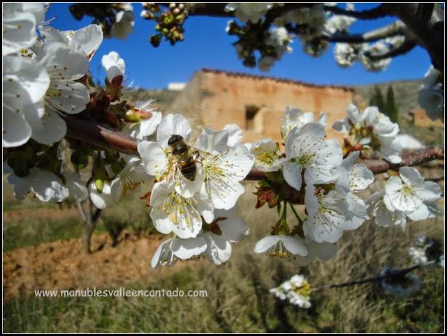 Abeja polinizando en flor de cerezo