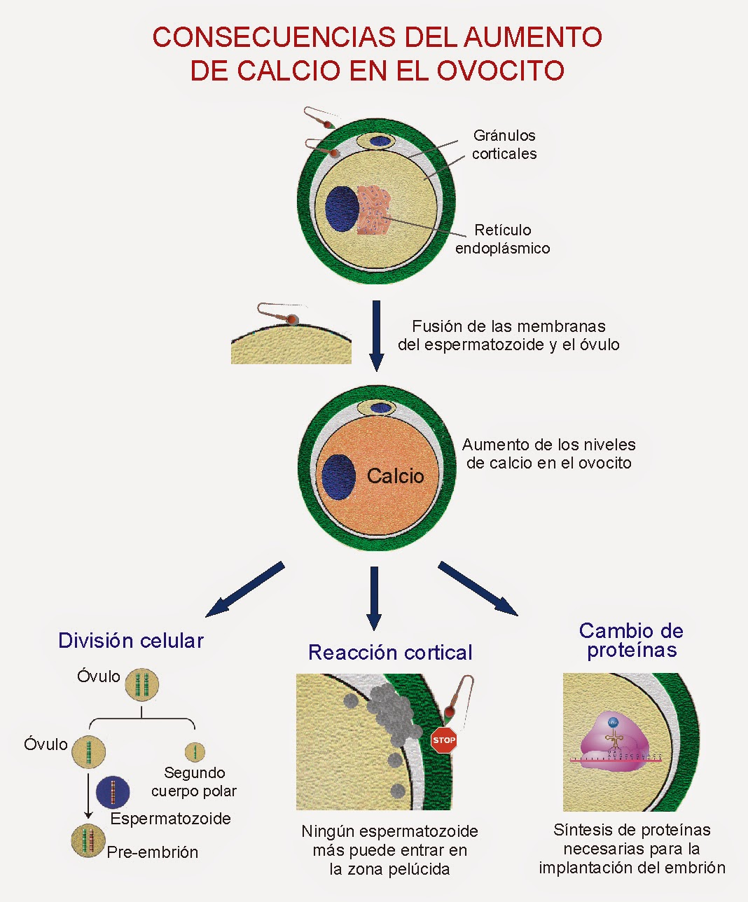 El aumento del calcio en el ovocito provoca la reacción cortical, el cambio de proteínas en el ovocito y la reanudación de la meiosis II
