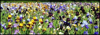 jardin d'iris en pleine floraison